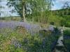 Bluebells 2012