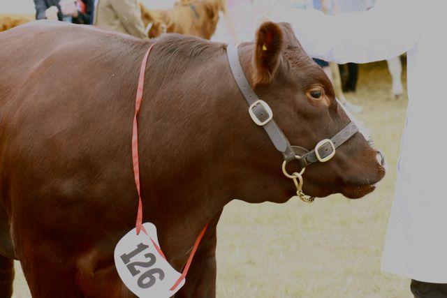 Sussex Bull