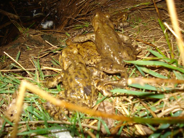 Toads make their way to the pond