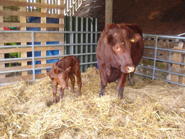 Sussex Calf with mother