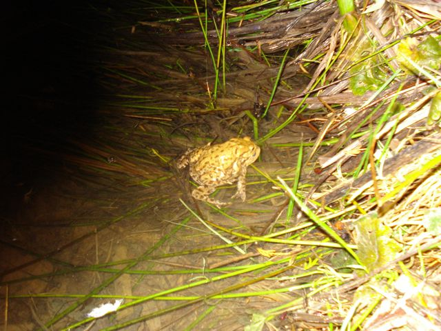 Toad looks for a mate