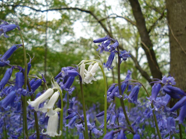 Whitebells amongst the Bluebells