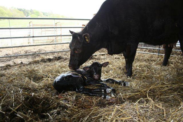 Snowdrop's new born Bull Calf