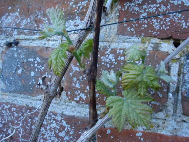 Budding Grape Vine