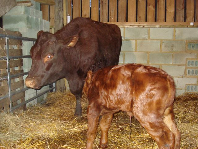 Sussex calf and mother