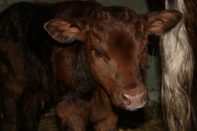Snowdrop's Bull calf