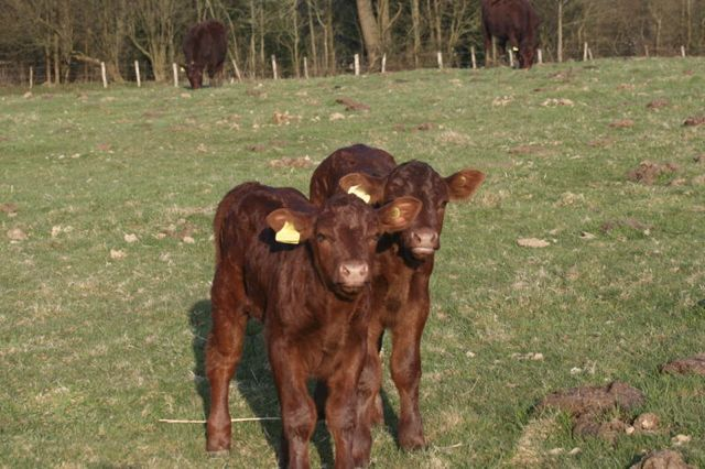 Lottie and bull calf