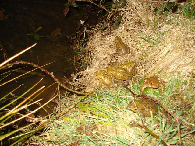 Toads at the pond