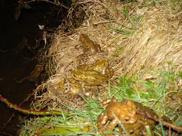 Toads look for a mate