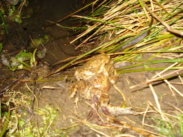 Toads in the Woodhill pond