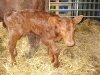 Sussex calf