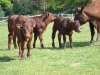 Calves in the field
