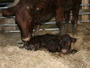 New born Sussex calf
