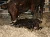 New born Sussex calf