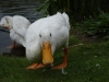 Indian Runner Duck