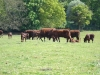 Sussex Calves in the field