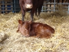 Calf with mother