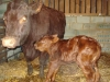 New born calf and its mother