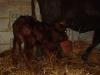 Sussex calf feeding