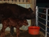 Calf and mother
