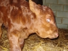 Sussex bull calf