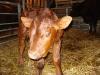 Woodhill herd calf