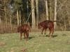 Bouncing Sussex calves
