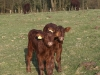 Lottie and Calf no2 out in the field