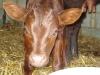 Sussex bull calf