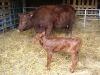 Sussex Calf