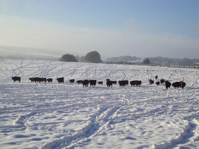 Sussex Herd in December snow