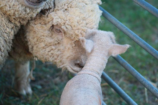 Southdown Lambs