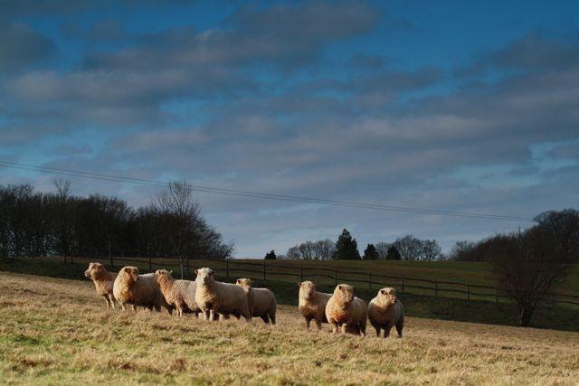 Southdown Flock