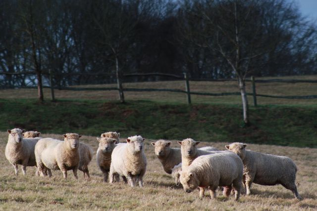 Southdown Sheep at Woodhill