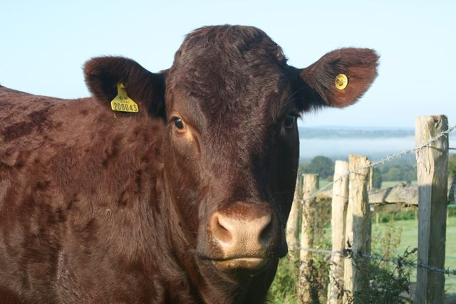 Sussex Cow