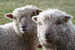 Southdown Sheep in the Surrey Hills