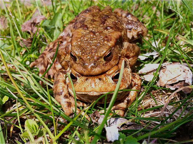 2011 Surrey Toad Migration