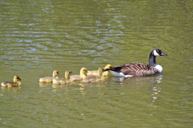 Canada Goose with the goslings