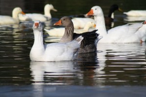 Embden, Greylag and Chinese Geese