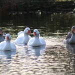 en, Greylag and Chinese Geese