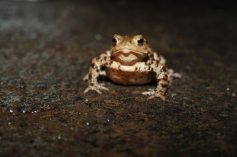 Toad on its migration