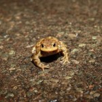Toad crossing the road