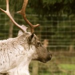 Reindeer at Santa Fir